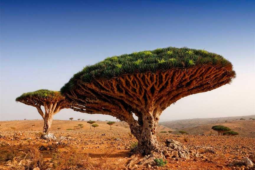 Деревья крови дракона, Йемен