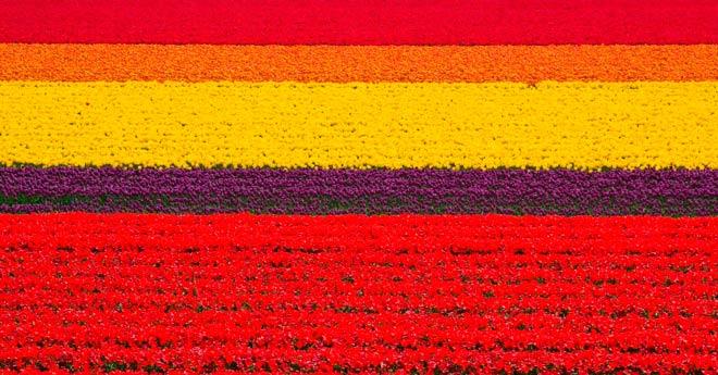 Поля тюльпанов – Голландия, Нидерланды