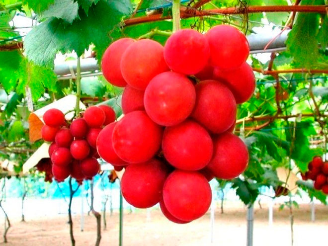 Римский рубиновый виноград – 4000$ за гроздь