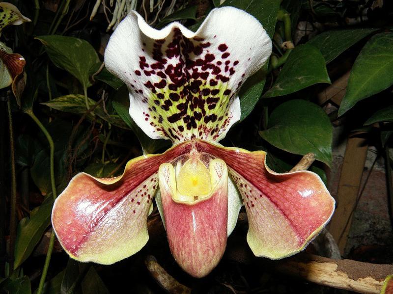 Орхидея «Венерин башмачок»