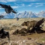 национальном парке Гранд-Титон медведь отгоняет хищных птиц от туши бизона.