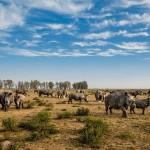 Этим носорогам на ранчо в Южной Африке недавно отпилили рога. В отличие от бивней слонов, рога у носорогов отрастают, если их правильно отрезать.